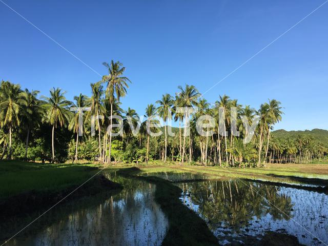 Rice field with palmtrees reflection in Anda Bohol the Philippines