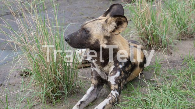 Close up from two African wild dog