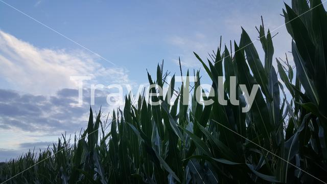 Young corn in Dutch field at sunset