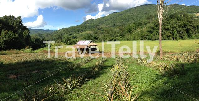 Pineapple farm panorama in north Thailand
