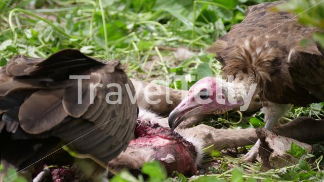 Close up from a vulture eating form a dead animal in the Gambia