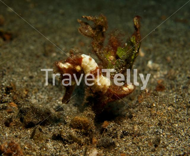 Thorny seahorse in Lembeh Sulawesi Indonesia
