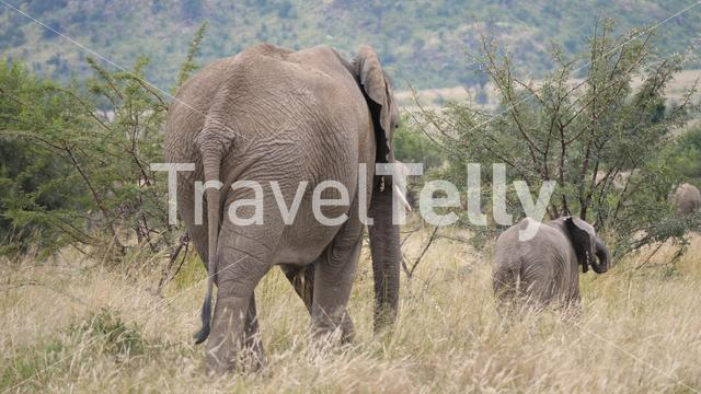 Baby elephant walking in front of his mother at Pilanesberg Game Reserve in South Africa