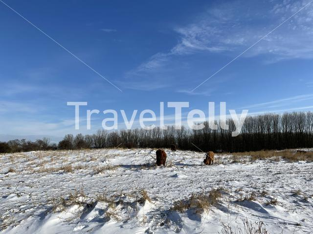 Highland cattle in the snow at the Mayor Rasterhoffpark in Sneek, Friesland The Netherlands
