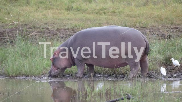 Hippo next to a waterpool in Pilanesberg Game Reserve South Africa