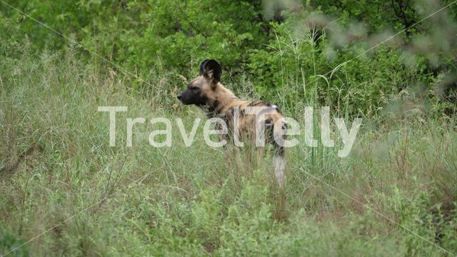 Wild dog looking around at Nxai Pan in Botswana