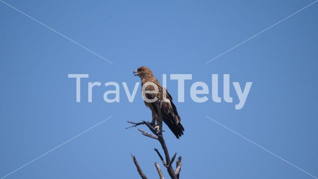 Tawny eagle on a tree branch in Africa