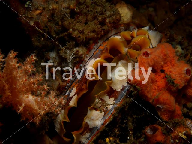 Thorny oyster clam in Lembeh Sulawesi Indonesia