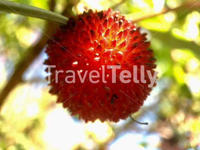 Close up from a strawberry tree fruit