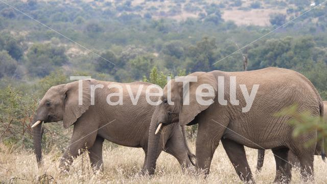 Elephants walking in Pilanesberg Game Reserve in South Africa