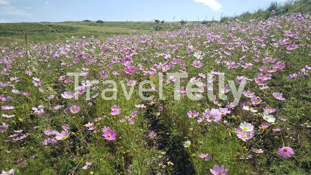 Field of flowers in the Mountains of Lesotho Africa