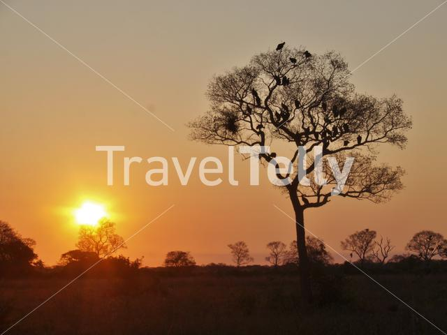 Sunset with black vultures in a tree in the Pantanal, Brazil