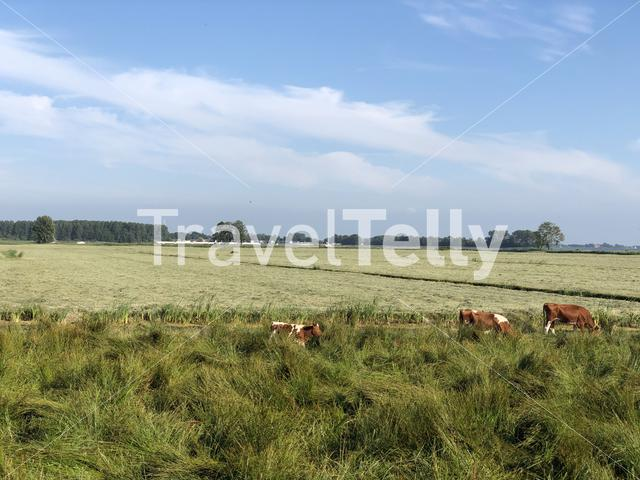 Group of brown spotted cows around the Sneeker lake in Friesland The Netherlands