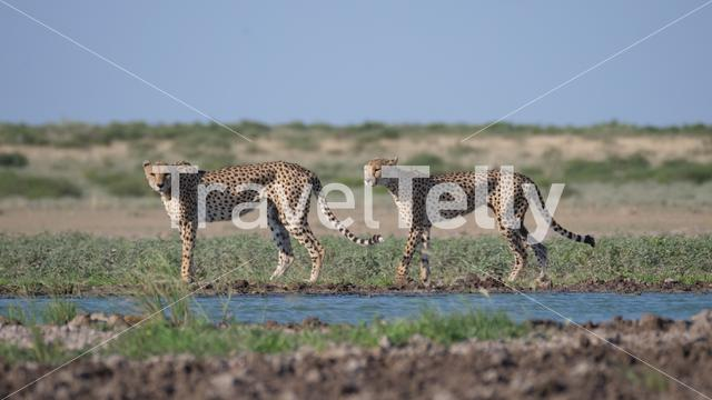 Two Cheetahs around a water hole at the Central Kalahari Game Reserve in Botswana