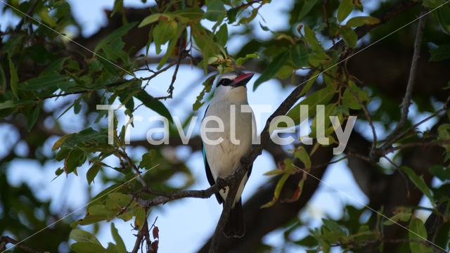 Woodland Kingfisher in a tree