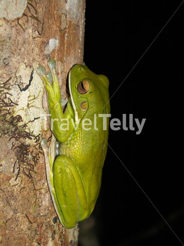 Giant White-lipped Tree Frog at night