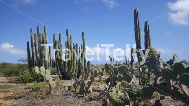 Cactuses landscape on Aruba