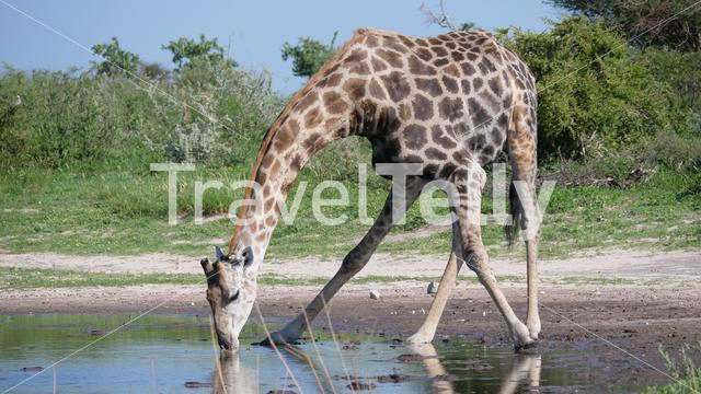 Giraffe drinking water in Central Kalahari Game Reserve, Botswana