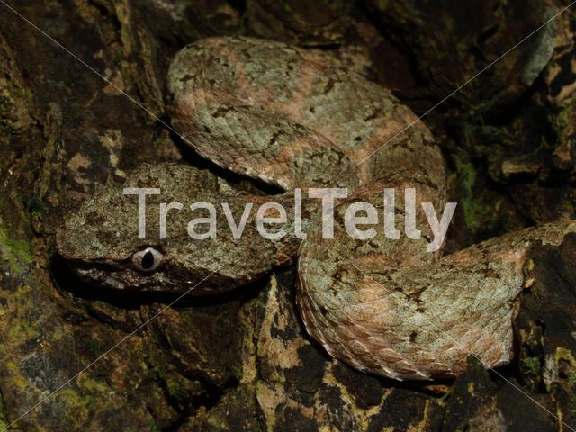 Close up from the Pit viper in Cahuita National Park Costa Rica