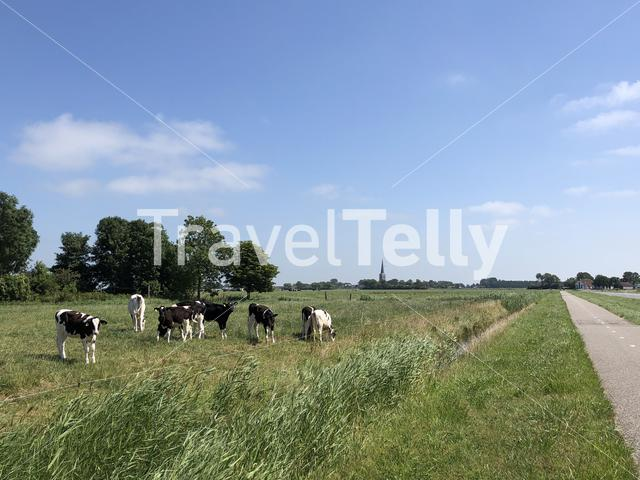 Calves in the meadow around Tzum, Friesland The Netherlands