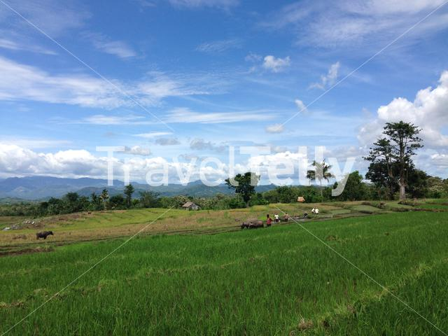 Farmers working on a rice field at Flores Island in Indonesia