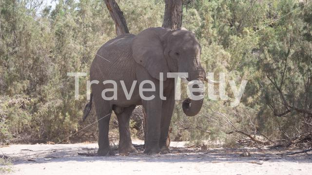 Lonely elephant walking in the shadow of a tree in Namibia