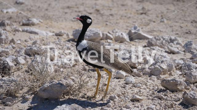 Southern black korhaan in Etosha National Park, Namibia