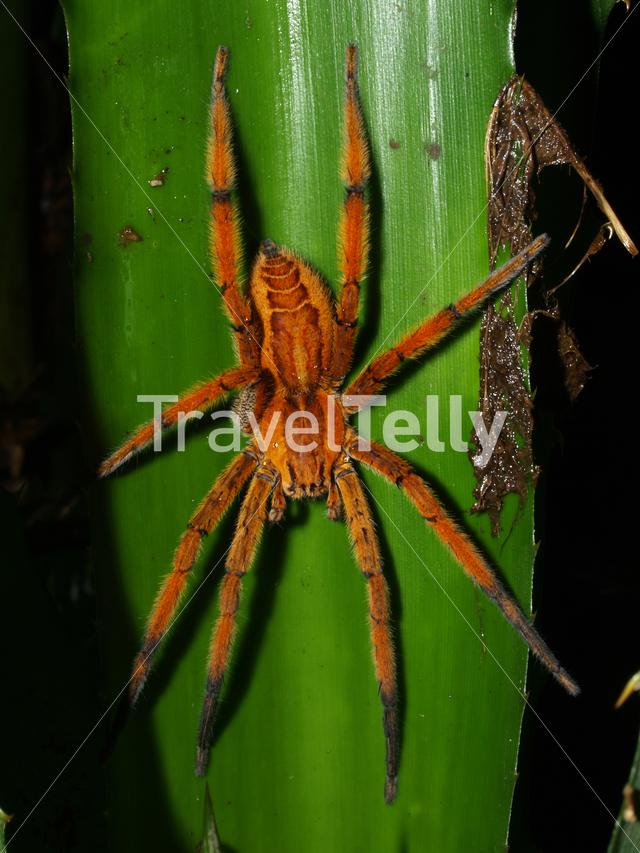 Wolf spider in Talamanca National Park Costa Rica