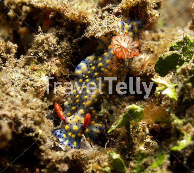 Nudibranche in Lembeh Sulawesi Indonesia