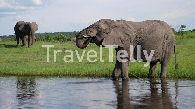 Elephant drinking water from a lake in Chobe National Park, Botswana