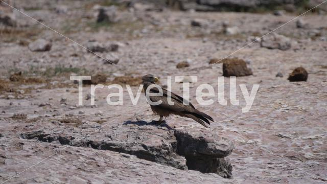 Tawny eagle sitting on the ground at Naye-Naye Concession Area in Namibia
