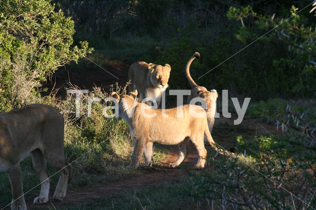 Lion family passing by on savanne in South Africa