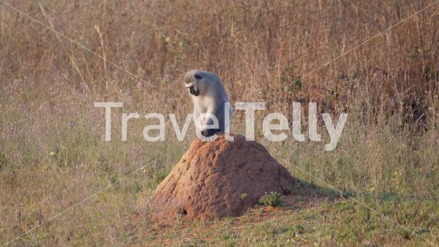 Vervet monkey sitting on a termite hill in Waterberg National Park South Africa
