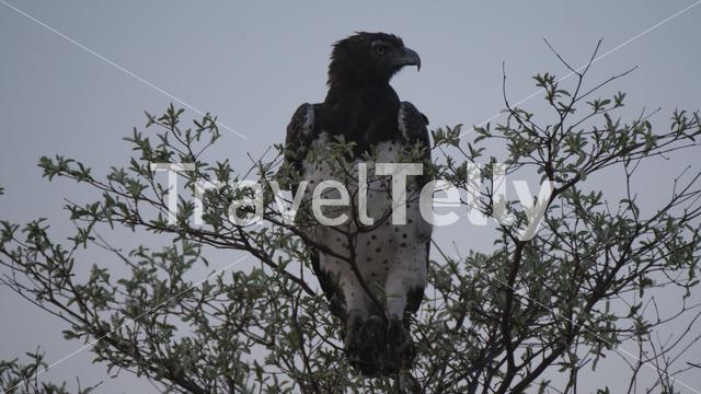 Martial Eagle in a tree at Khaudum National Park, Namibia