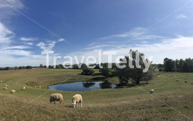 Sheeps at the Droste Woy and Westerheide a Nature preserve in Germany
