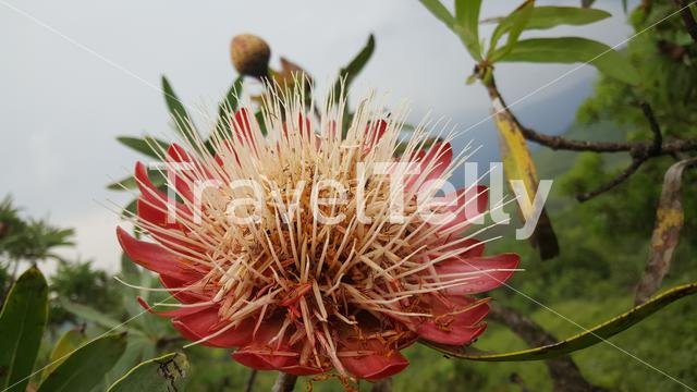 Big flower at Natal Drakensberg National Park in South Africa in South Africa