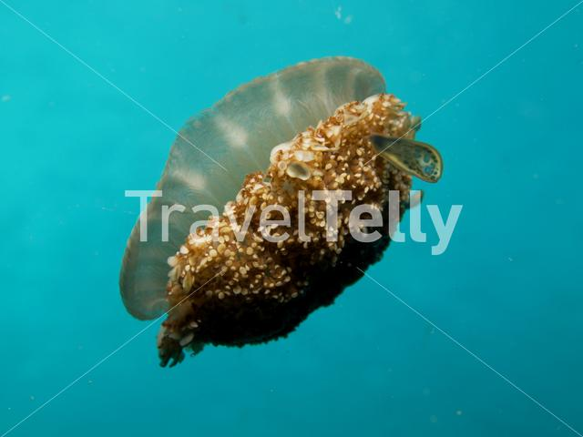 Jellyfish Cassiopea andromeda (Upside-down jellyfish) in Lembeh Sulawesi Indonesia