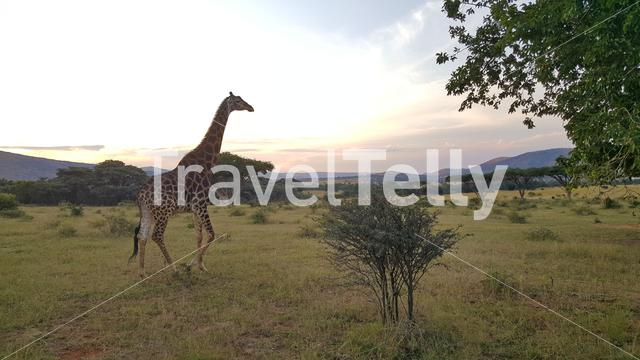 Giraffe around the Kgaswane Nature Reserve Rustenburg in South Africa
