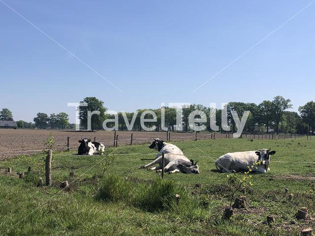 Cows laying in the grass around Sinderen, Gelderland The Netherlands