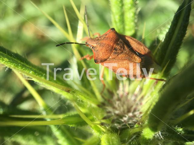 Macro shot from a brown shield bug in Greece