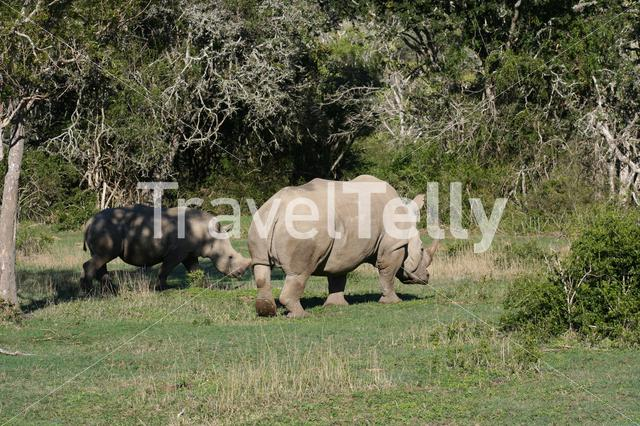 Rhinos on the savanna in South Africa