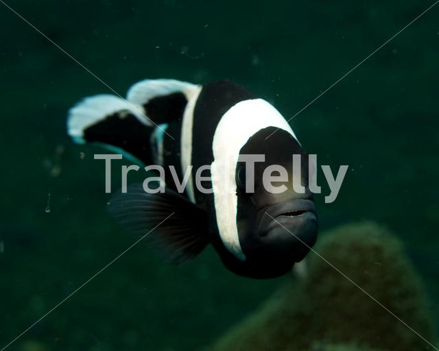 Saddleback anemonefish in Lembeh Sulawesi Indonesia