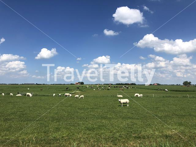 Sheeps and cows around Hartwerd in Friesland, The Netherlands
