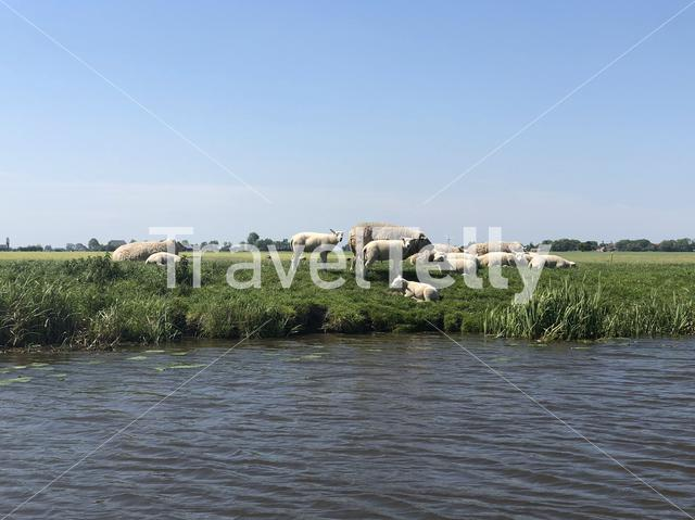 Herd of sheeps next to the canal bozumervaart in Friesland, The Netherlands