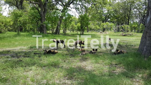 African wild dogs at Moremi Game Reserve in Botswana