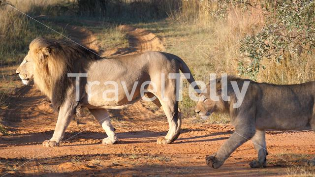 Lion couple walking away in Waterberg South Africa