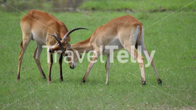 Two Lechwe locking horns to fight at Moremi Game Reserve in Botswana