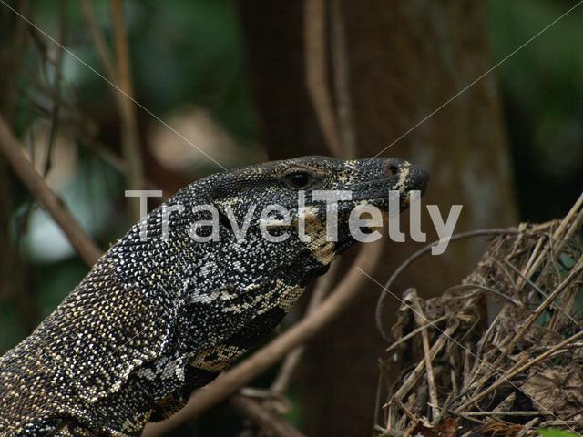 Lace monitor in Daintree National Park, Australia