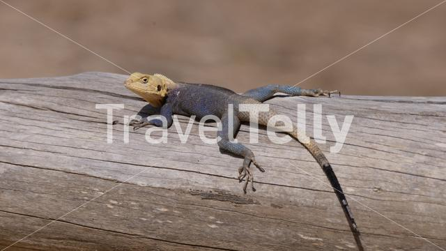 Agama lizard on a tree trunk in Senegal, Africa