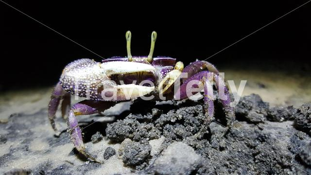 Fiddler crab at night at Bolon Mansarinko in Senegal